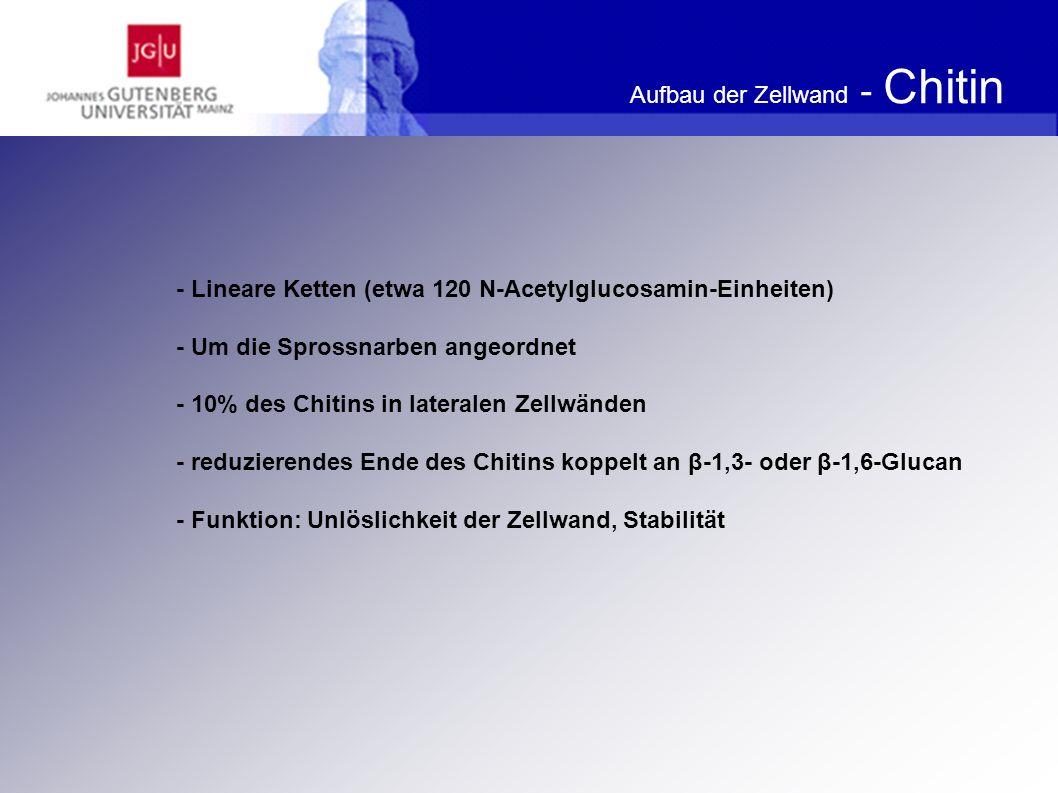 Aufbau der Zellwand - Chitin Aufbau des Chitins Jährig SC (2007) Bioaktivitäten von Wertstoffen aus Saccharomyces Hefen, Berlin, S.20.