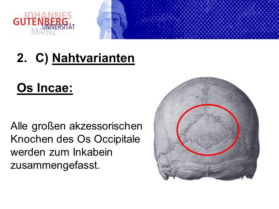 2.C) Nahtvarianten Os Incae: Alle großen akzessorischen Knochen des Os Occipitale werden zum Inkabein zusammengefasst.