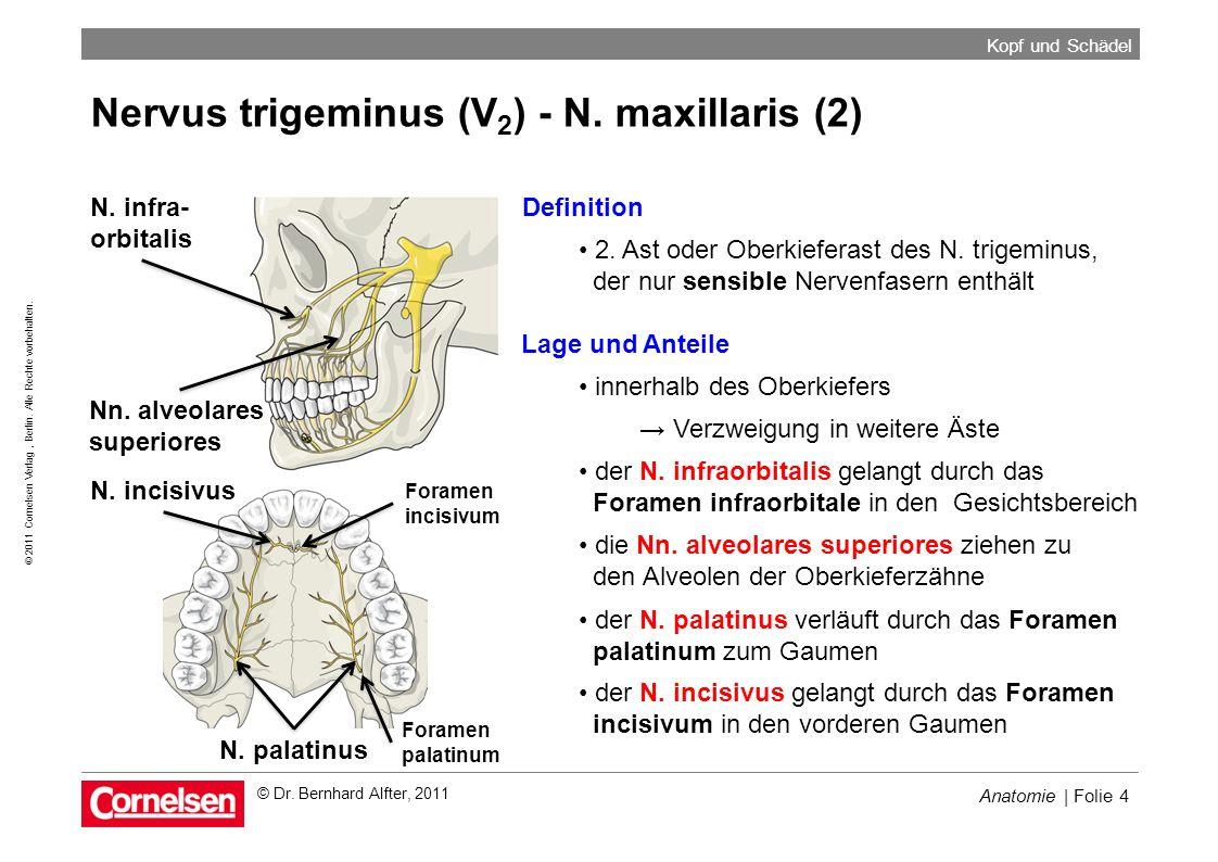Anatomie | Folie 4 © 2011 Cornelsen Verlag, Berlin. Alle Rechte vorbehalten. Kopf und Schädel © Dr. Bernhard Alfter, 2011 Nervus trigeminus (V 2 ) - N