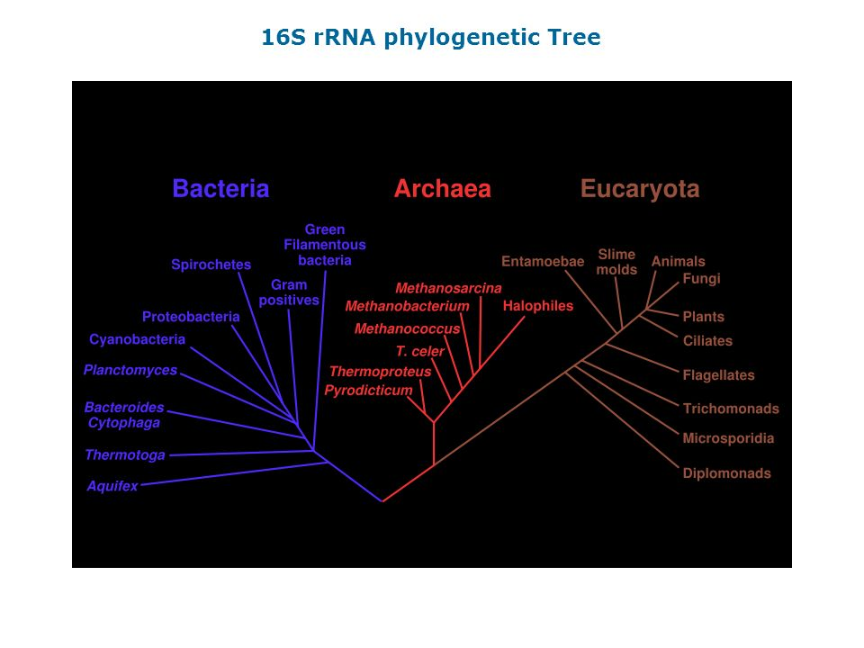 16S rRNA phylogenetic Tree