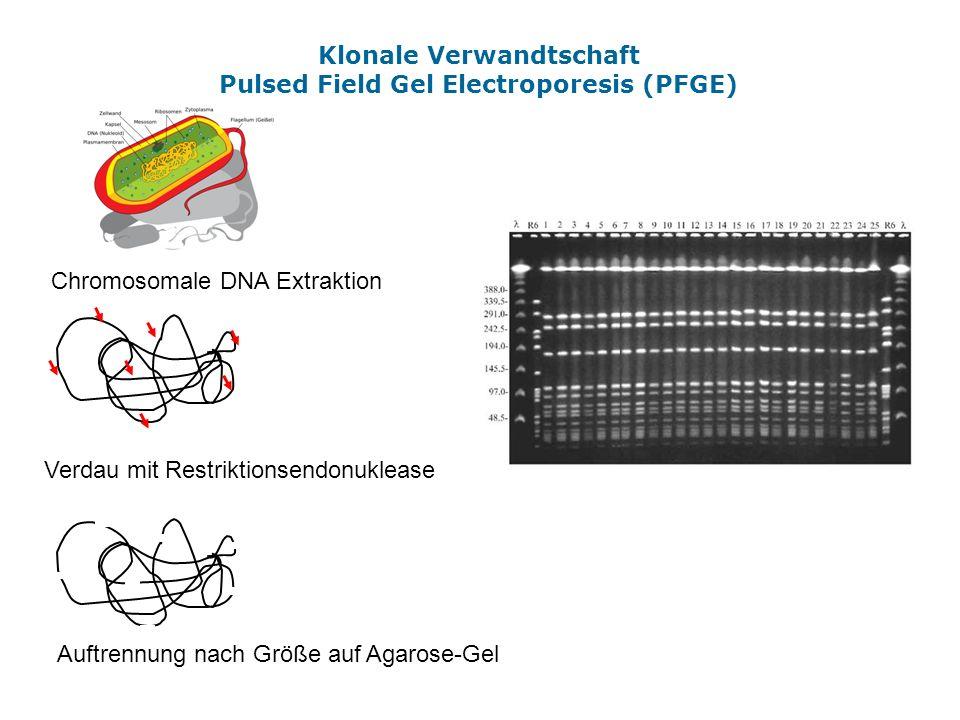Klonale Verwandtschaft Pulsed Field Gel Electroporesis (PFGE) Chromosomale DNA Extraktion Verdau mit Restriktionsendonuklease Auftrennung nach Größe a