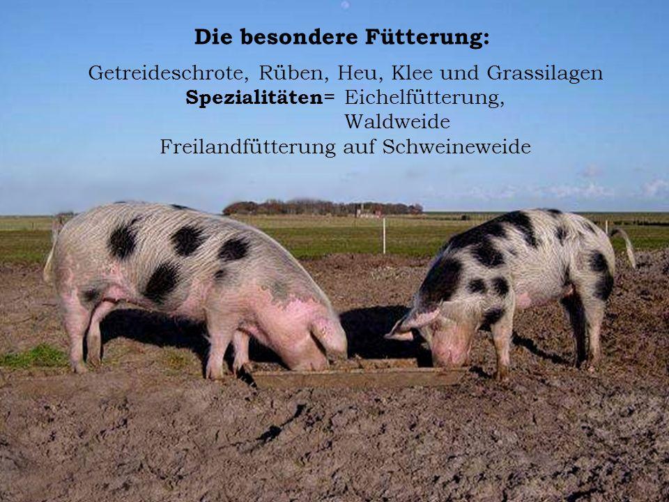 Die besondere Fütterung: Getreideschrote, Rüben, Heu, Klee und Grassilagen Spezialitäten = Eichelfütterung, Waldweide Freilandfütterung auf Schweinewe