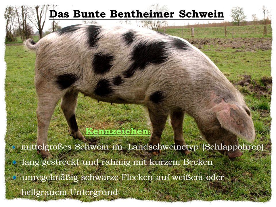 Kennzeichen : mittelgroßes Schwein im Landschweinetyp (Schlappohren) lang gestreckt und rahmig mit kurzem Becken unregelmäßig schwarze Flecken auf wei