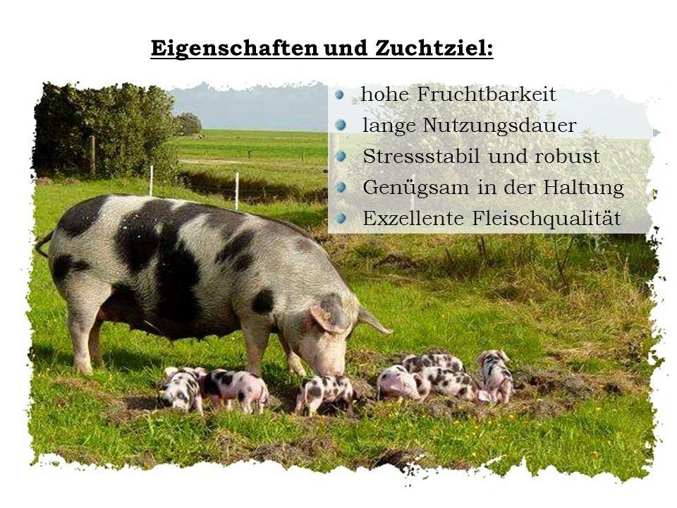 Eigenschaften und Zuchtziel: hohe Fruchtbarkeit lange Nutzungsdauer Stressstabil und robust Genügsam in der Haltung Exzellente Fleischqualität