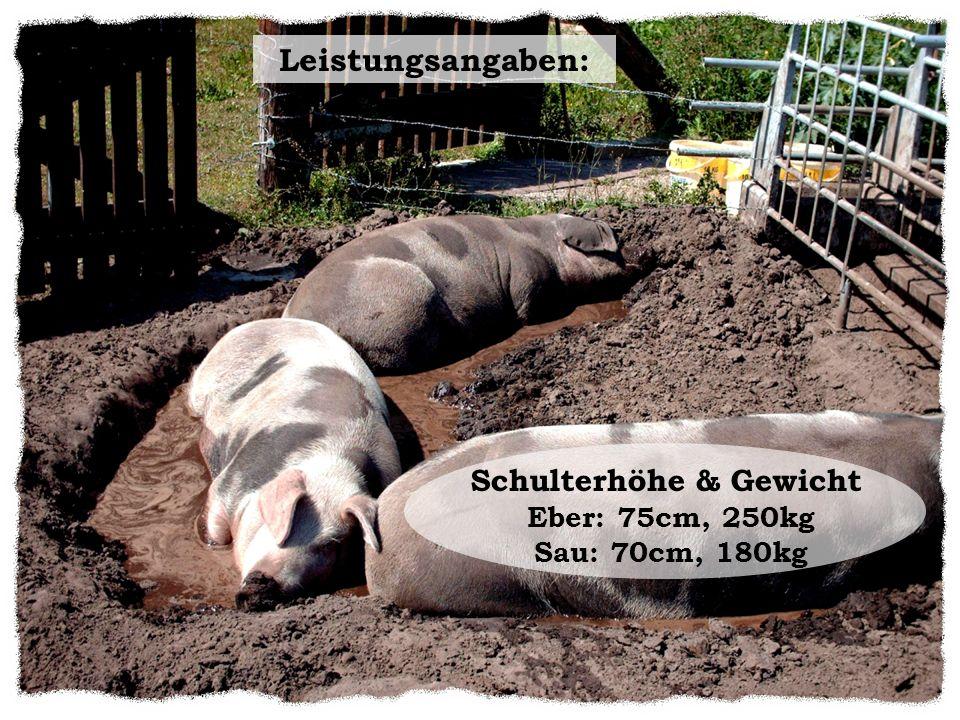 Höhepunkte für die Swatbunten 2003 – Gründung des Vereines zur Erhaltung des Bunten Bentheimer Schweines.