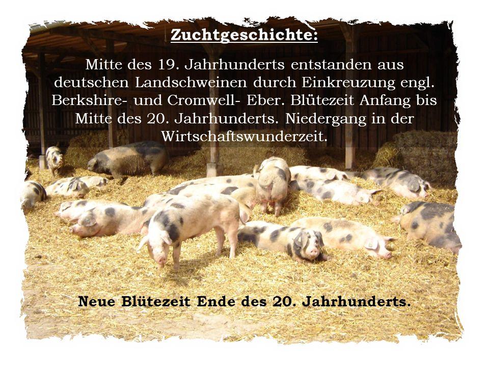 Zuchtgeschichte: Mitte des 19. Jahrhunderts entstanden aus deutschen Landschweinen durch Einkreuzung engl. Berkshire- und Cromwell- Eber. Blütezeit An