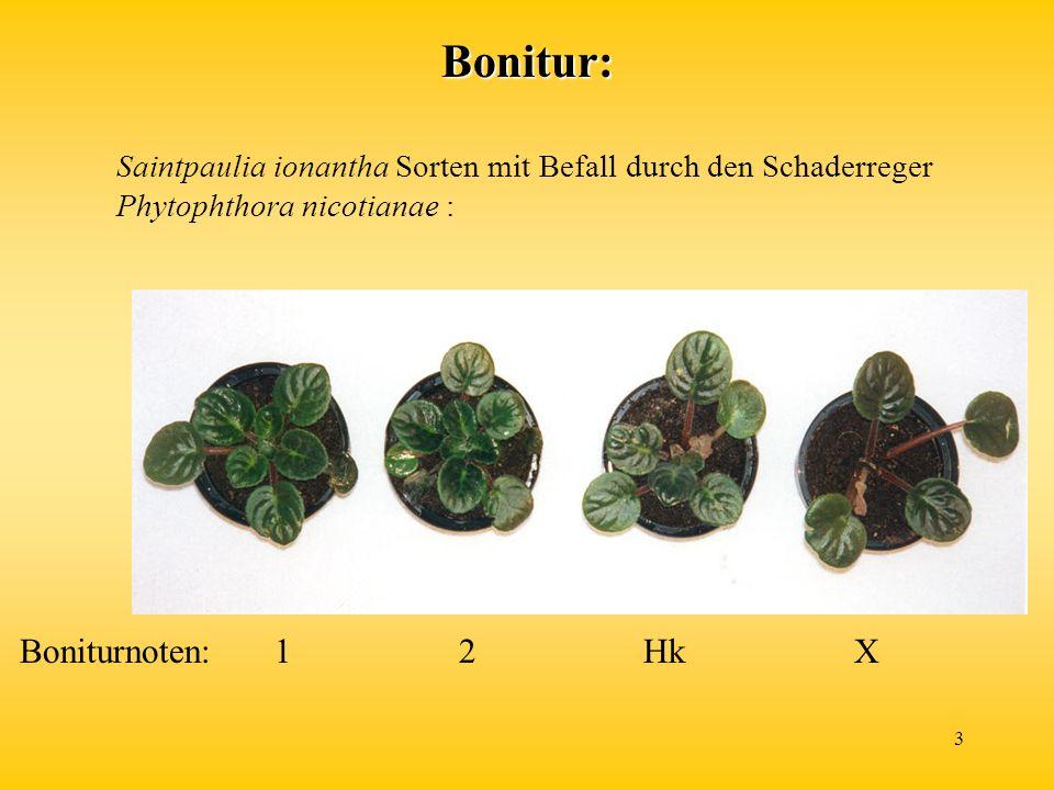 3 Saintpaulia ionantha Sorten mit Befall durch den Schaderreger Phytophthora nicotianae : Boniturnoten:1 2 Hk XBonitur: