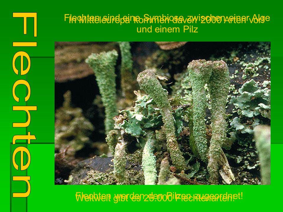 Flechten sind eine Symbiose zwischen einer Alge und einem Pilz Weltweit gibt es 25.000 Flechtenarten.