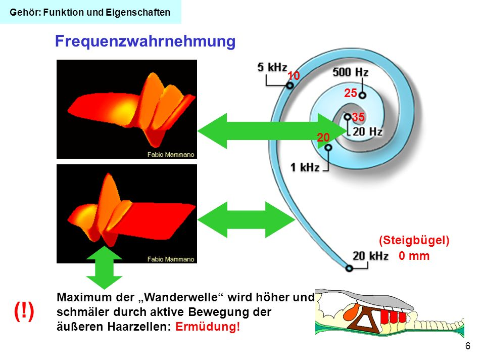 6 10 20 0 mm 25 35 Frequenzwahrnehmung Maximum der Wanderwelle wird höher und schmäler durch aktive Bewegung der äußeren Haarzellen: Ermüdung! (Steigb