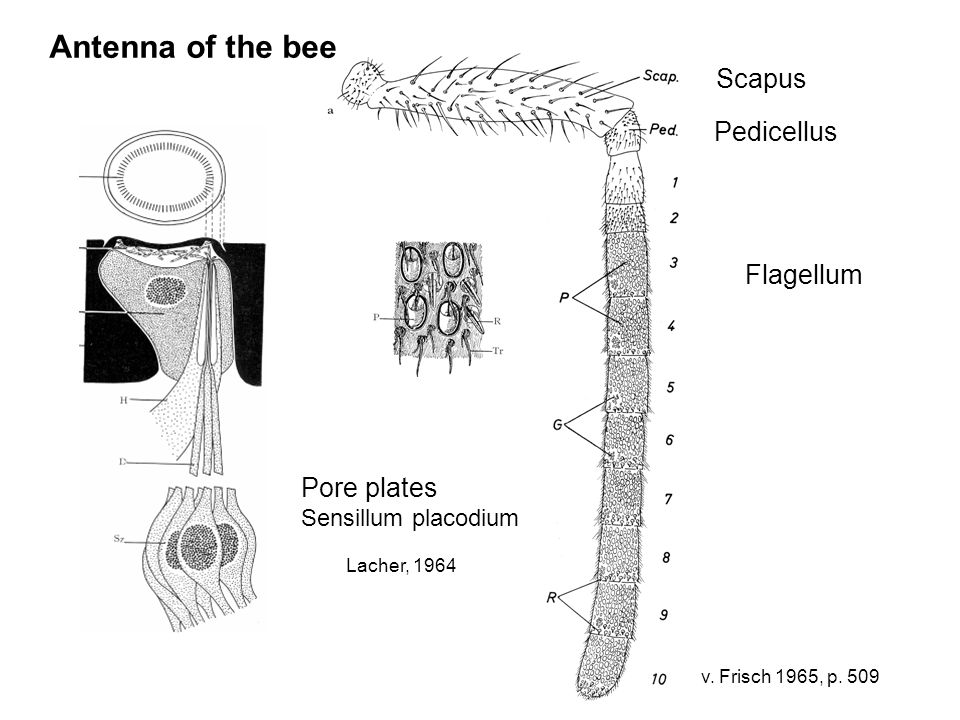 v. Frisch 1965, p. 509 Antenna of the bee Scapus Pedicellus Flagellum Pore plates Sensillum placodium Lacher, 1964