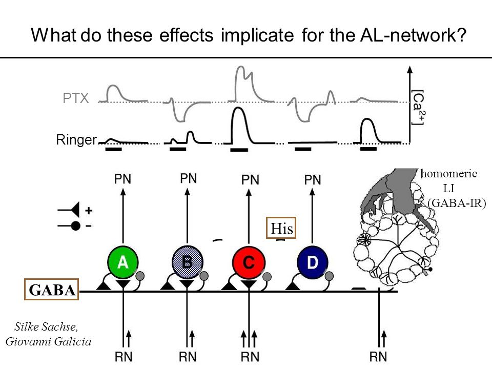 What do these effects implicate for the AL-network? Ringer PTX ? GABA His (GABA-IR) homomeric LI Silke Sachse, Giovanni Galicia