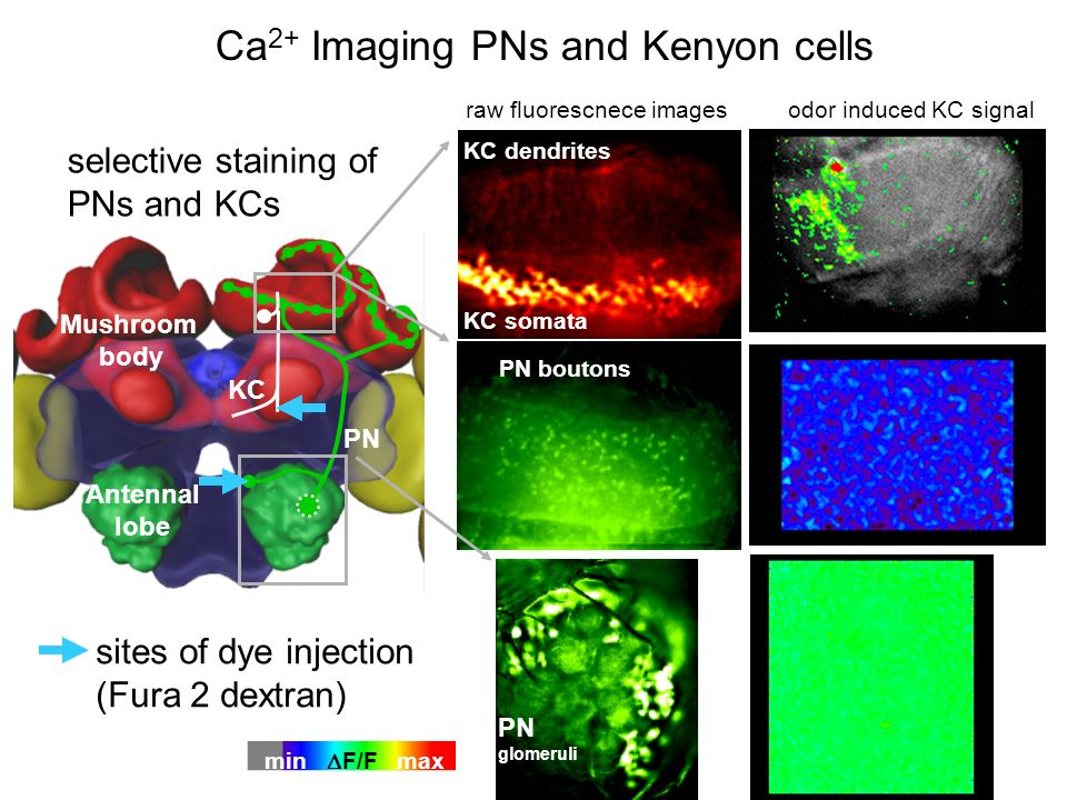 Ca 2+ Imaging PNs and Kenyon cells PN glomeruli PN boutons KC dendrites KC somata PN KC Antennal lobe Mushroom body sites of dye injection (Fura 2 dex