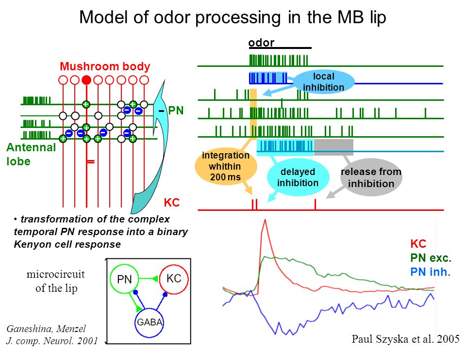 PN delayed inhibition release from inhibition odor Model of odor processing in the MB lip transformation of the complex temporal PN response into a bi