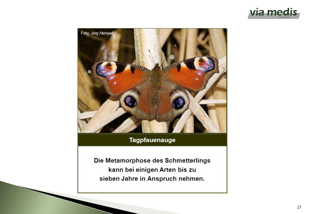Tagpfauenauge 21 Foto: Jörg Hempel Die Metamorphose des Schmetterlings kann bei einigen Arten bis zu sieben Jahre in Anspruch nehmen.