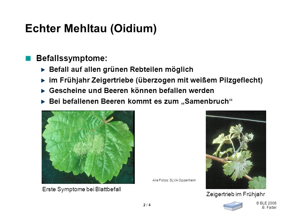 © BLE 2006 B. Fader 2 / 4 Echter Mehltau (Oidium) Befallssymptome: Befall auf allen grünen Rebteilen möglich im Frühjahr Zeigertriebe (überzogen mit w