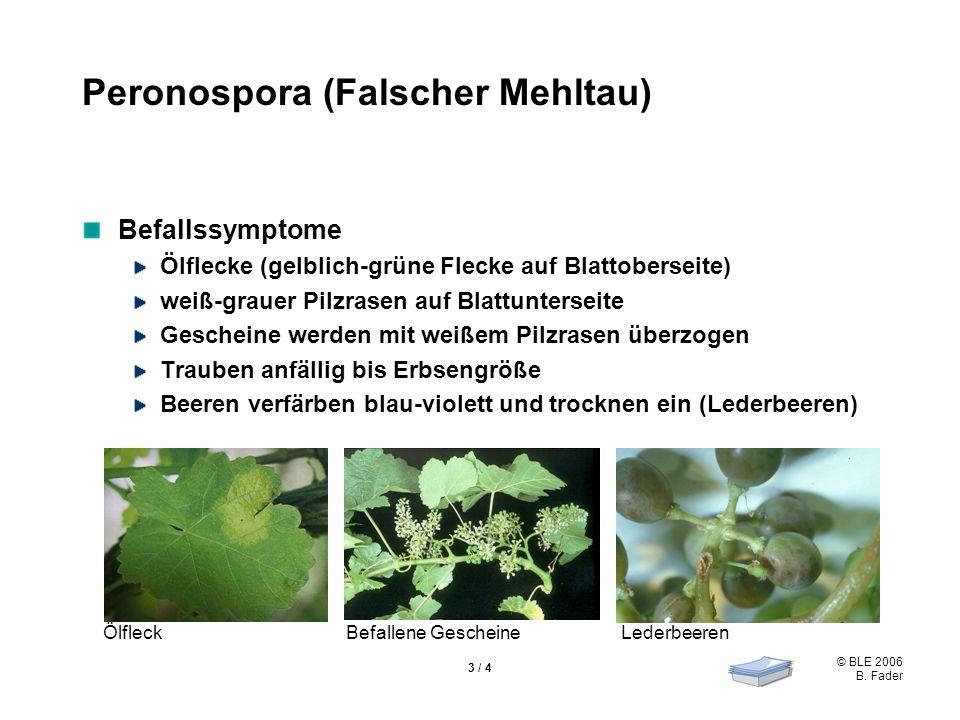 © BLE 2006 B. Fader 3 / 4 Peronospora (Falscher Mehltau) Befallssymptome Ölflecke (gelblich-grüne Flecke auf Blattoberseite) weiß-grauer Pilzrasen auf