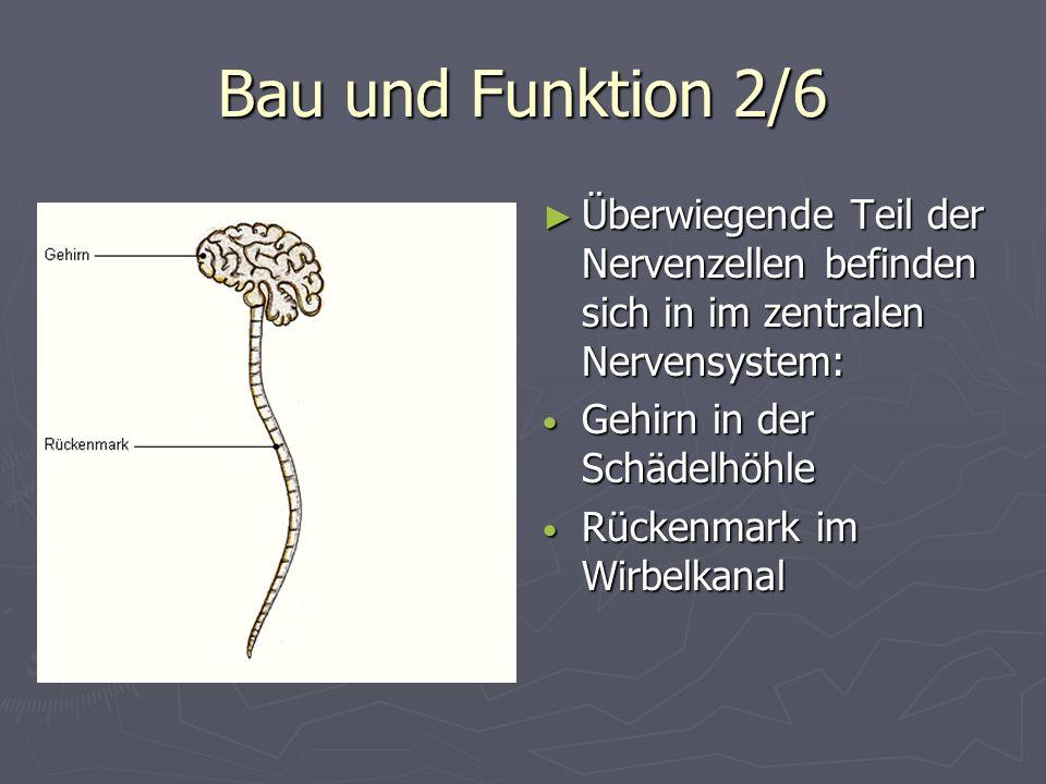 Bau und Funktion 2/6 Überwiegende Teil der Nervenzellen befinden sich in im zentralen Nervensystem: Gehirn in der Schädelhöhle Rückenmark im Wirbelkan