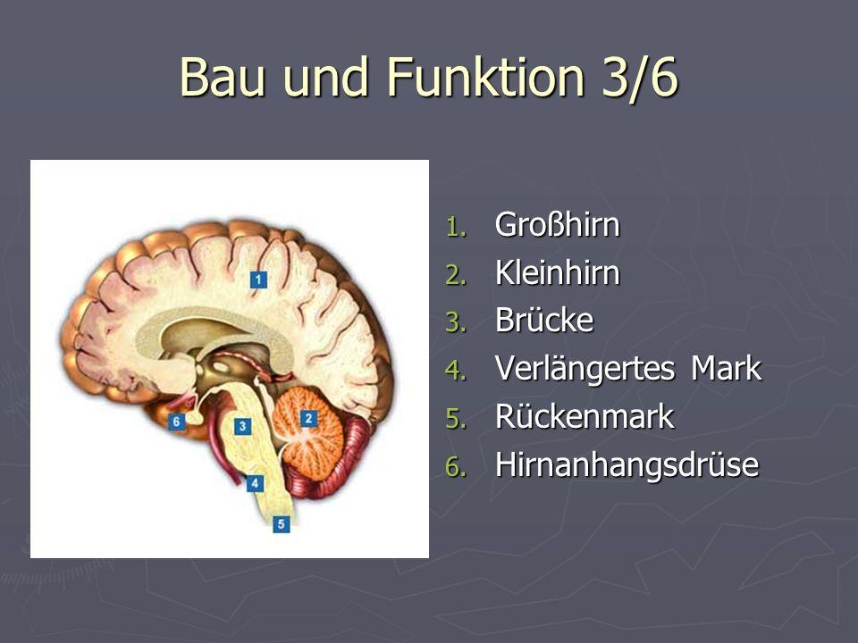 Bau und Funktion 3/6 1. Großhirn 2. Kleinhirn 3. Brücke 4. Verlängertes Mark 5. Rückenmark 6. Hirnanhangsdrüse