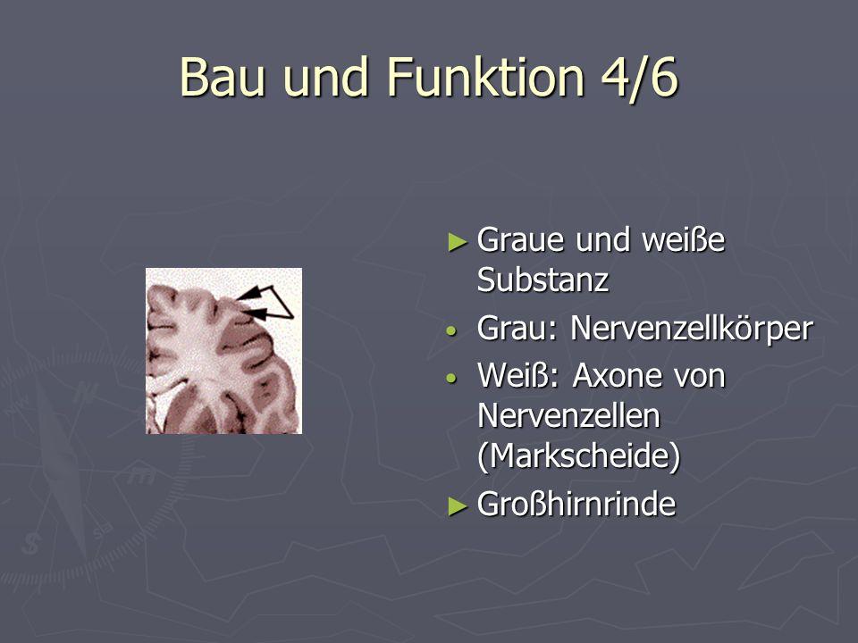 Bau und Funktion 4/6 Graue und weiße Substanz Grau: Nervenzellkörper Weiß: Axone von Nervenzellen (Markscheide) Großhirnrinde