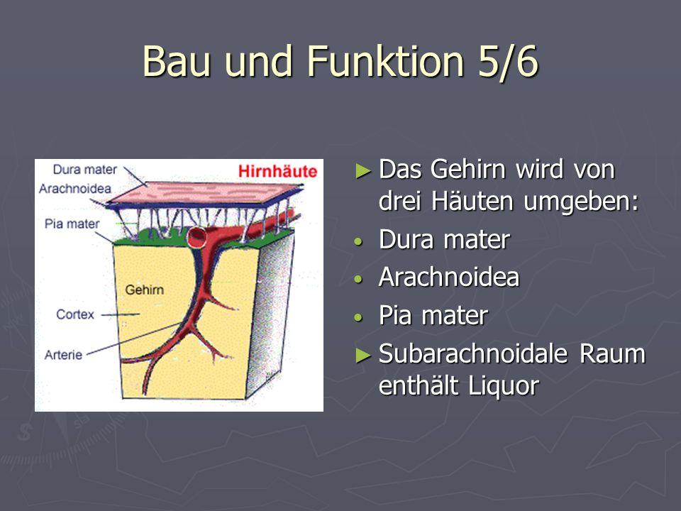 Bau und Funktion 5/6 Das Gehirn wird von drei Häuten umgeben: Dura mater Arachnoidea Pia mater Subarachnoidale Raum enthält Liquor
