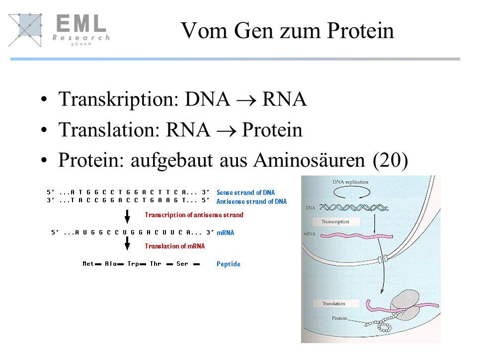 Vom Gen zum Protein Transkription: DNA RNA Translation: RNA Protein Protein: aufgebaut aus Aminosäuren (20)