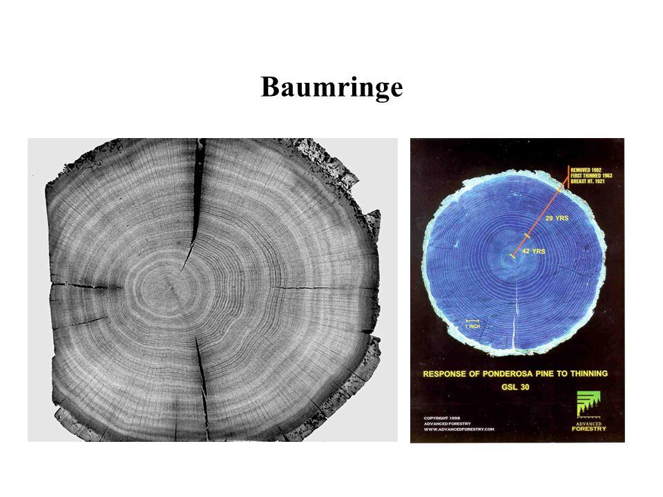 Baumringe