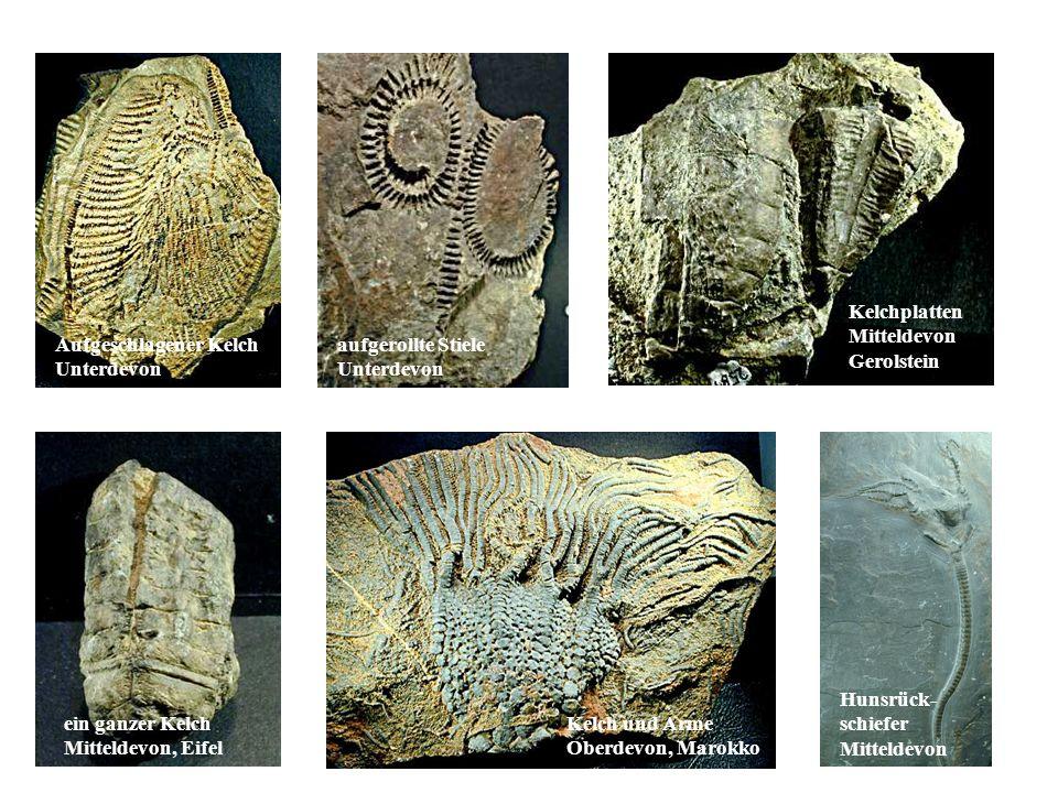 Fossilien Hunsrück- schiefer Mitteldevon Kelchplatten Mitteldevon Gerolstein Aufgeschlagener Kelch Unterdevon aufgerollte Stiele Unterdevon ein ganzer