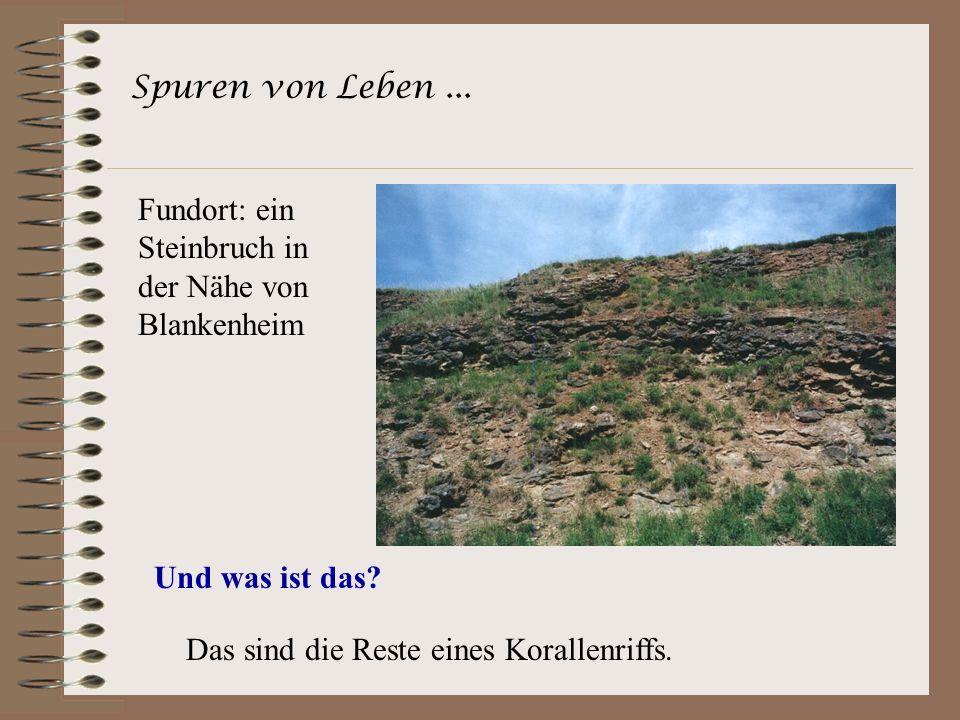 Spuren von Leben... Fundort: ein Steinbruch in der Nähe von Blankenheim Und was ist das? Das sind die Reste eines Korallenriffs.