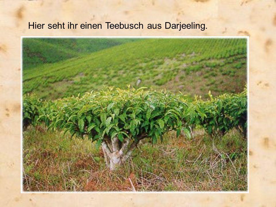 Hier seht ihr einen Teebusch aus Darjeeling.