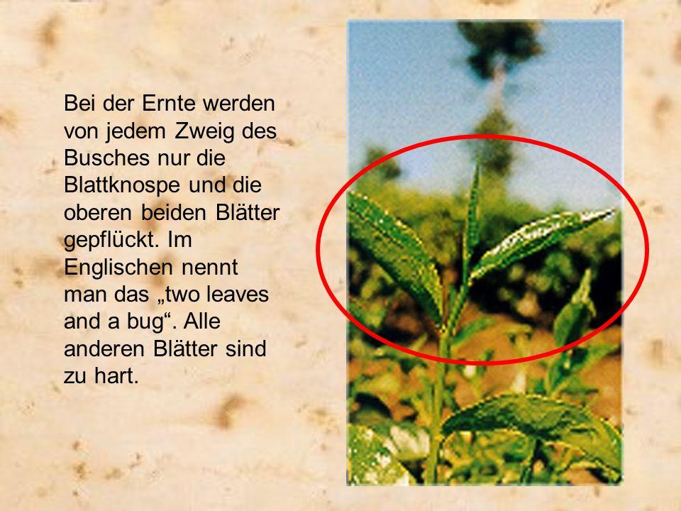 Bei der Ernte werden von jedem Zweig des Busches nur die Blattknospe und die oberen beiden Blätter gepflückt. Im Englischen nennt man das two leaves a