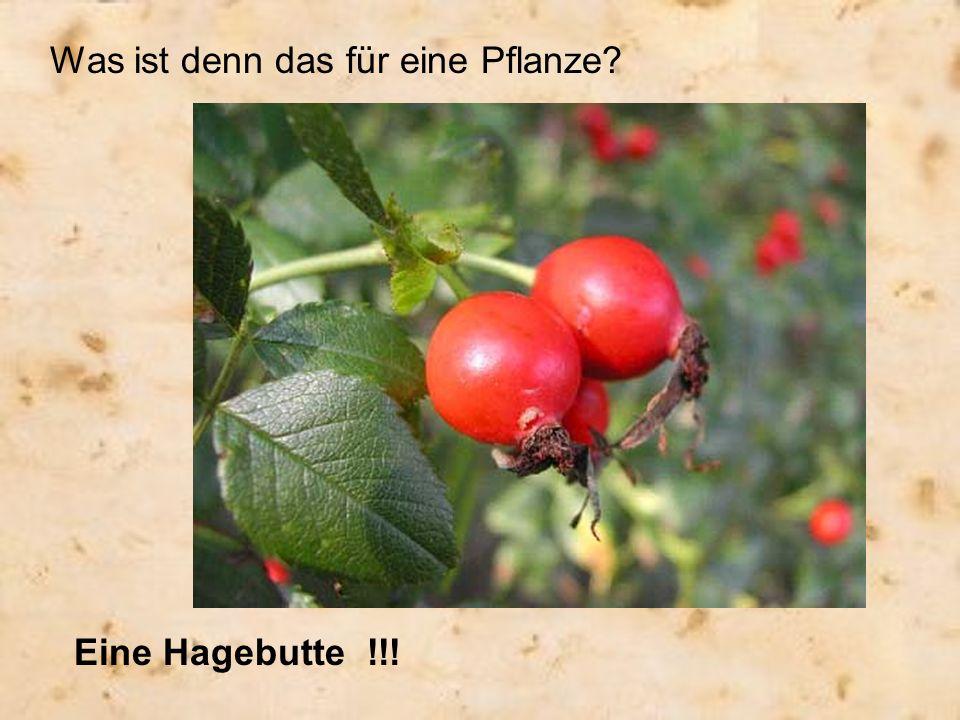 Was ist denn das für eine Pflanze? Eine Hagebutte !!!