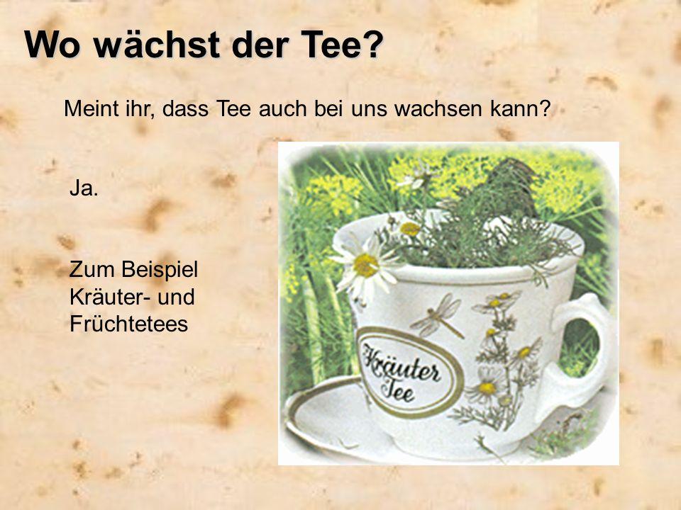 Wo wächst der Tee? Meint ihr, dass Tee auch bei uns wachsen kann? Ja. Zum Beispiel Kräuter- und Früchtetees