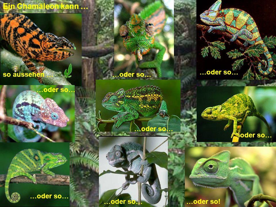 Chamäleons sind für ihre Fähigkeit bekannt, die Farbe zu wechseln.
