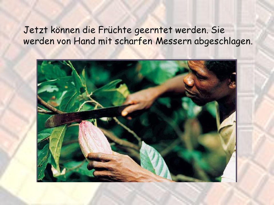 Das ist die Kakaopflanze. So sieht nach dem Säen aus wenn sie schon etwas gewachsen ist. Und so sieht der ausgewachsene Kakaobaum mit den reifen Kakao