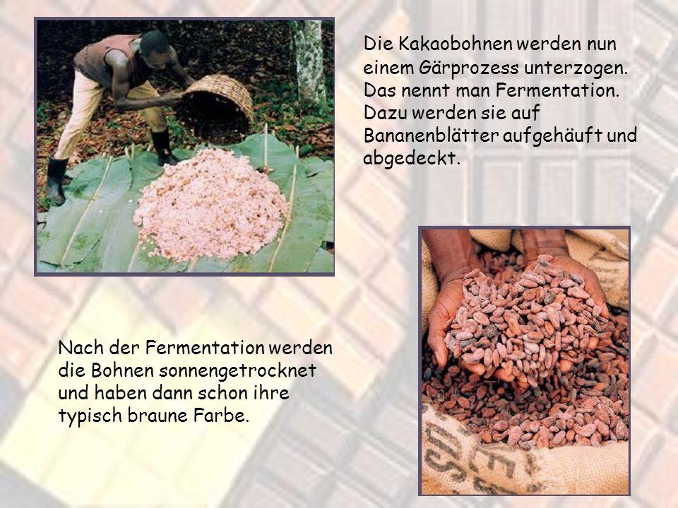 Mit einem geschickten Schlag werden die Früchte geöffnet. Darin befinden sich die Kakaobohnen die noch von weißem Fruchtfleisch umgeben sind.