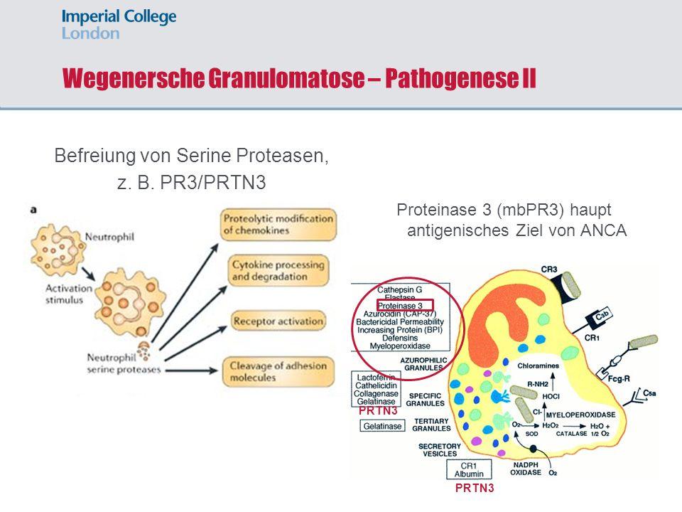 Wegenersche Granulomatose – Pathogenese II Befreiung von Serine Proteasen, z. B. PR3/PRTN3 Proteinase 3 (mbPR3) haupt antigenisches Ziel von ANCA PRTN