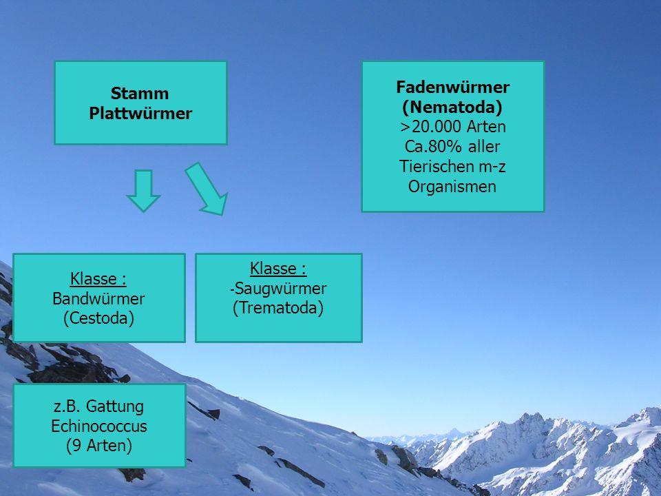 Stamm Plattwürmer Fadenwürmer (Nematoda) >20.000 Arten Ca.80% aller Tierischen m-z Organismen Klasse : Bandwürmer (Cestoda) z.B. Gattung Echinococcus