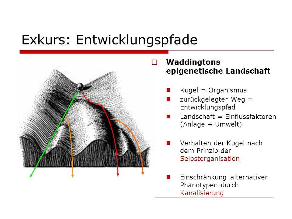 Exkurs: Entwicklungspfade Waddingtons epigenetische Landschaft Kugel = Organismus zurückgelegter Weg = Entwicklungspfad Landschaft = Einflussfaktoren