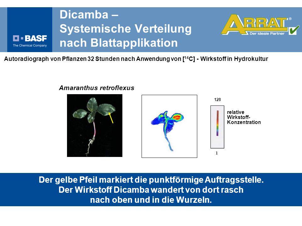 Autoradiograph von Pflanzen 32 Stunden nach Anwendung von [ 14 C] - Wirkstoff in Hydrokultur relative Wirkstoff- Konzentration 128 1 Der gelbe Pfeil m