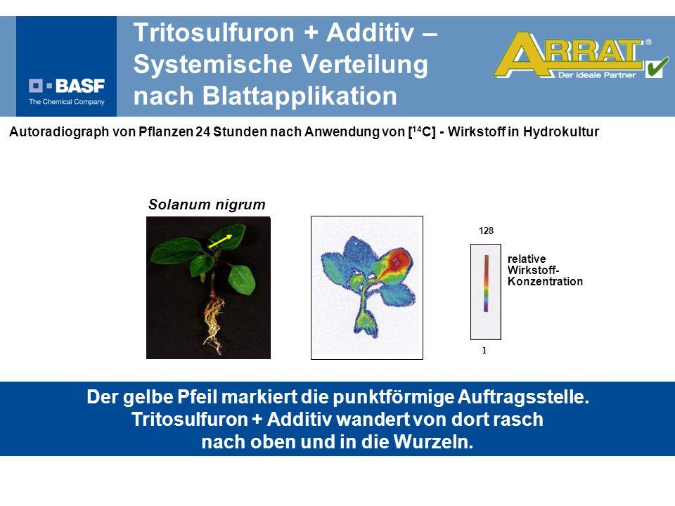 Autoradiograph von Pflanzen 24 Stunden nach Anwendung von [ 14 C] - Wirkstoff in Hydrokultur relative Wirkstoff- Konzentration 128 1 Der gelbe Pfeil m