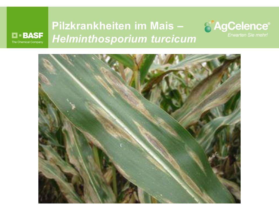 Pilzkrankheiten im Mais – Helminthosporium turcicum