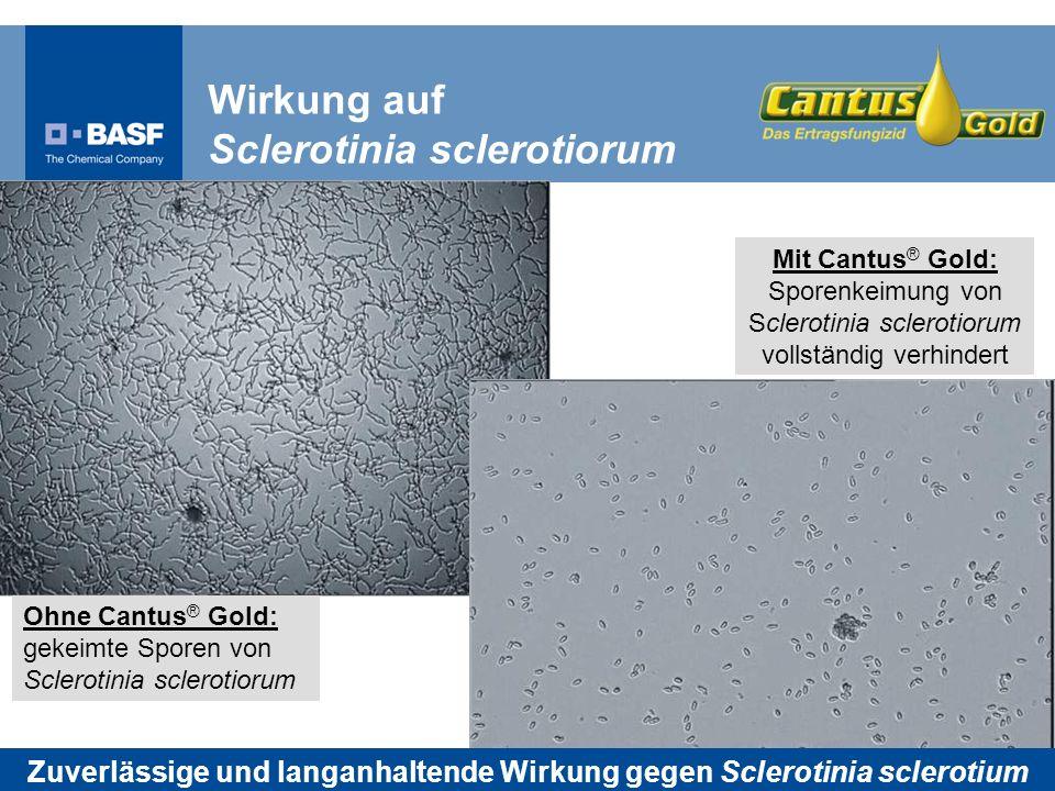 Ohne Cantus ® Gold: gekeimte Sporen von Sclerotinia sclerotiorum Mit Cantus ® Gold: Sporenkeimung von Sclerotinia sclerotiorum vollständig verhindert