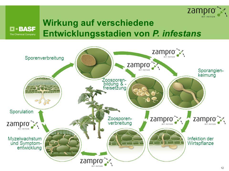 12 Sporenverbreitung Zoosporen- bildung & - freisetzung Zoosporen- verbreitung Myzelwachstum und Symptom- entwicklung Sporulation Infektion der Wirtsp