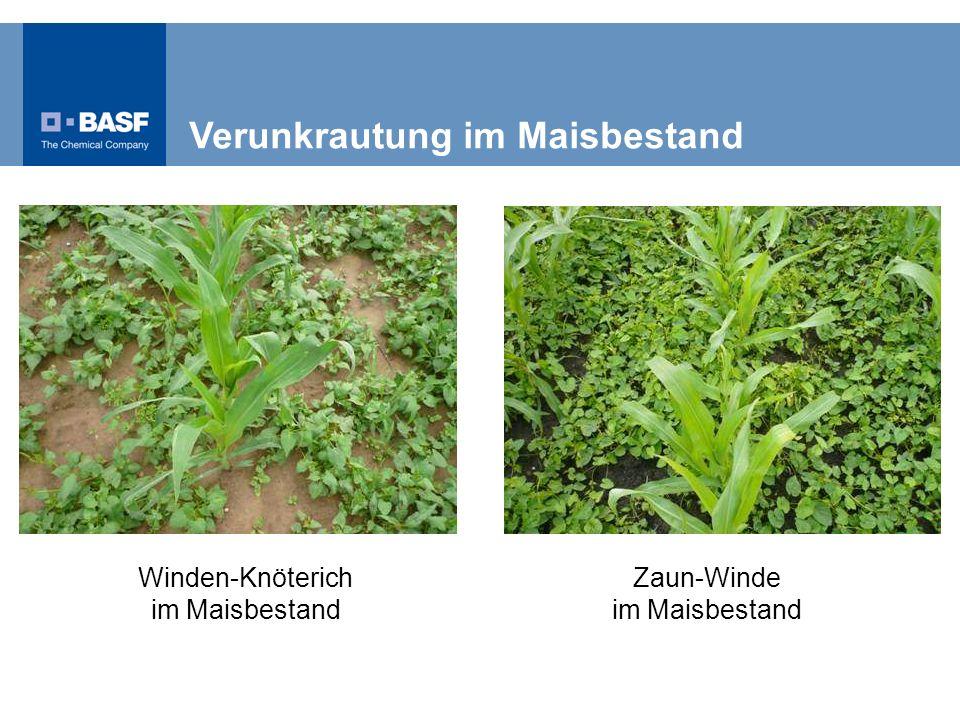 Winden-Knöterich im Maisbestand Zaun-Winde im Maisbestand Verunkrautung im Maisbestand