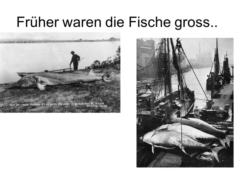 Früher waren die Fische gross..