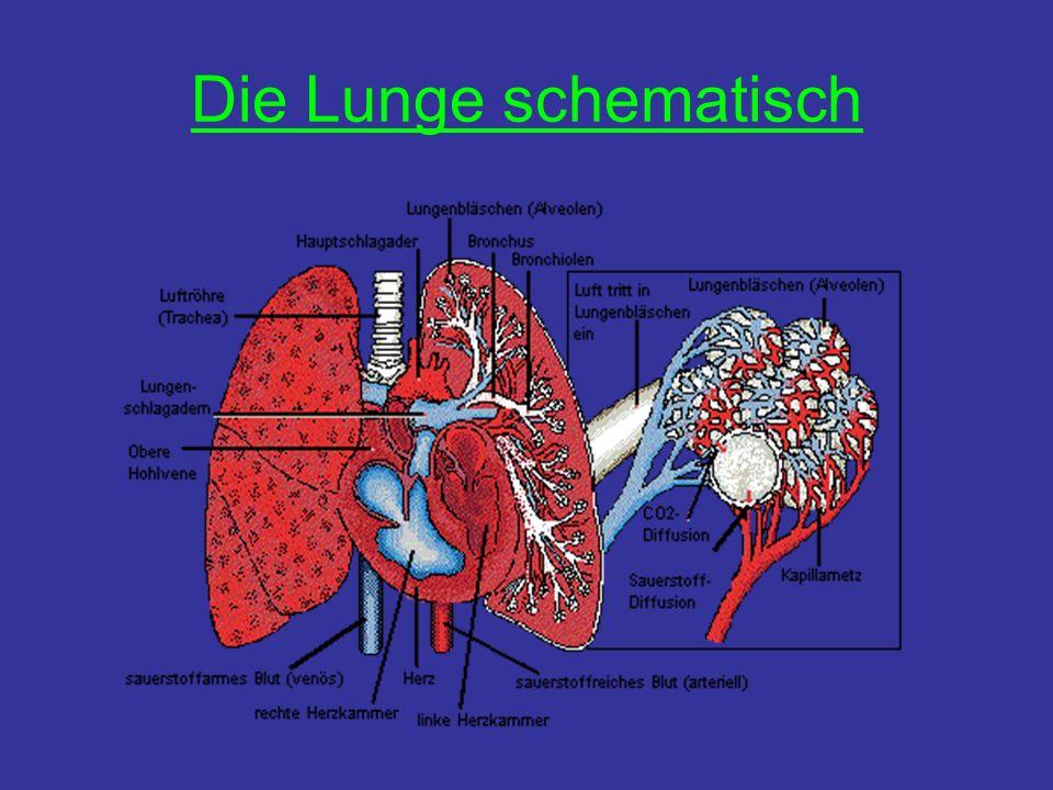 Die Lunge schematisch