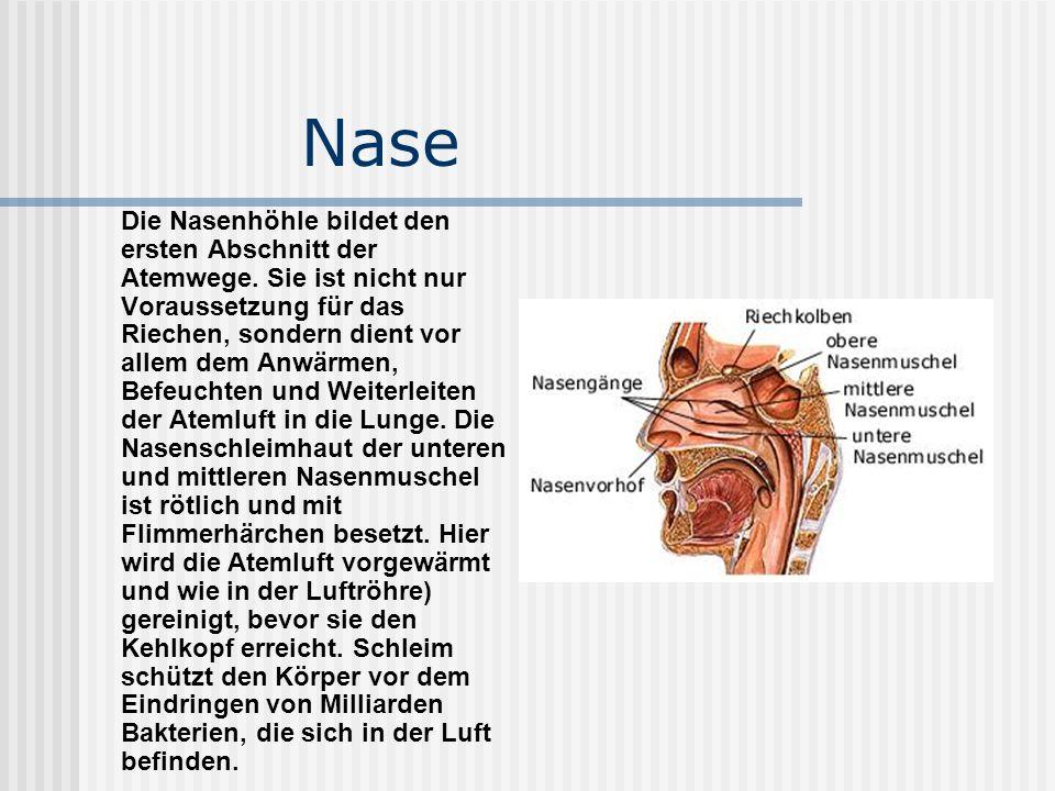 Nase Die Nasenhöhle bildet den ersten Abschnitt der Atemwege. Sie ist nicht nur Voraussetzung für das Riechen, sondern dient vor allem dem Anwärmen, B