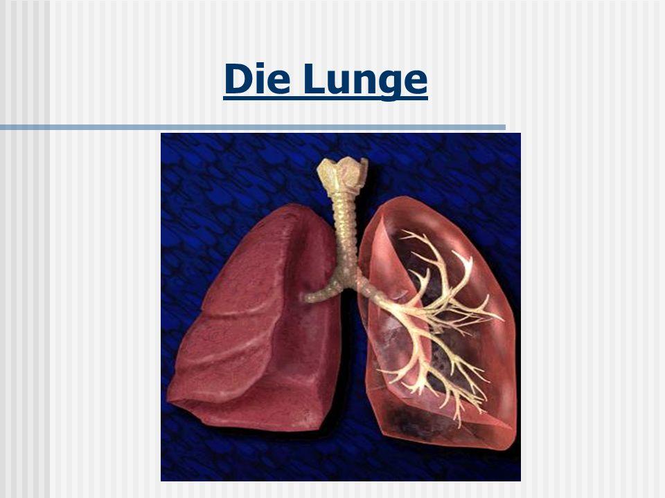 Lage der Lunge Die Lunge des Menschen liegt gut geschützt im Brustkorb, der von den Rippen, dem Brustbein und der Wirbelsäule gebildet wird.
