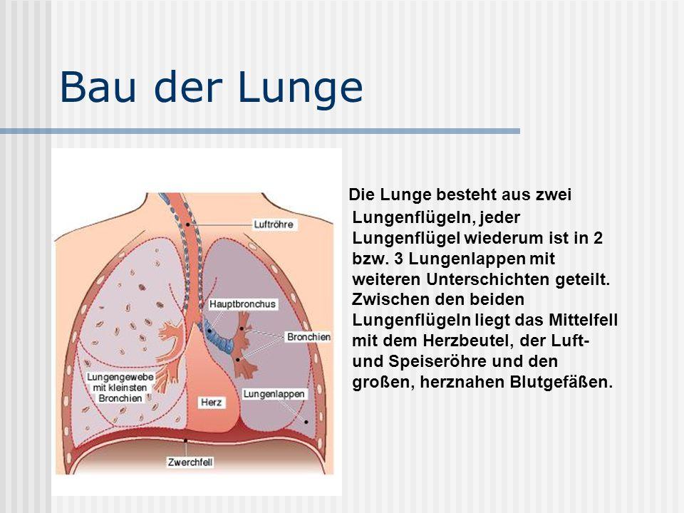 Bau der Lunge Die Lunge besteht aus zwei Lungenflügeln, jeder Lungenflügel wiederum ist in 2 bzw.