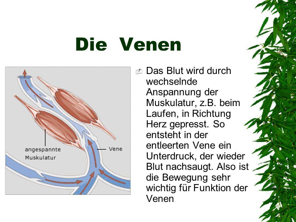 Die Venen Das Blut wird durch wechselnde Anspannung der Muskulatur, z.B. beim Laufen, in Richtung Herz gepresst. So entsteht in der entleerten Vene ei